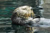 sea otter, Monterey Bay, CA